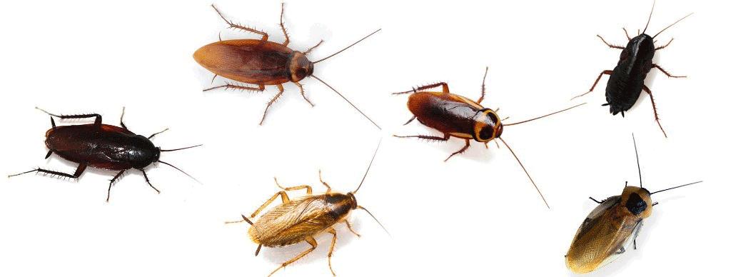Kalorifer Böceği İlaçlama Kesin Çözüm
